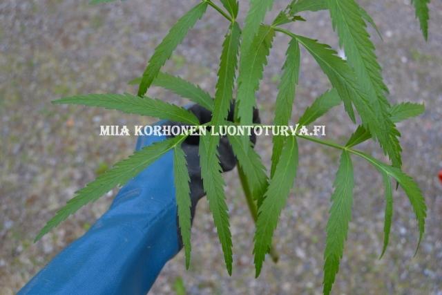 0669_myrkkykeison_lehti_miia_korhonen_luontoturva.fi