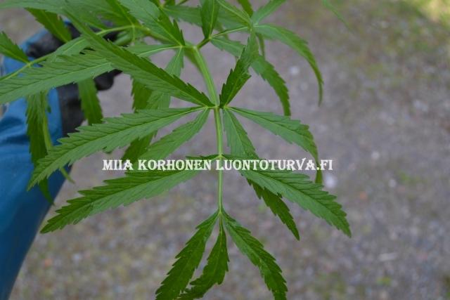 0674_myrkkykeison_lehtiruoti_on_kourumainen_miia_korhonen_luontoturva.fi