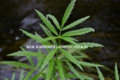 0675_myrkkykeiso_on_myrkyllinen_luonnonkasvimme_miia_korhonen_luontoturva.fi