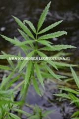 0676_myrkkykeiso_viihtyy_veden_aarella_miia_korhonen_luontoturva.fi