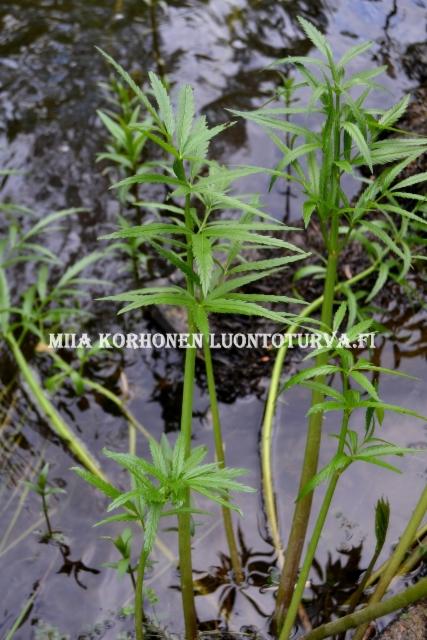 0677_myrkkykeiso_joen_rannalla_miia_korhonen_luontoturva.fi