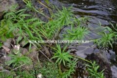0678_myrkkykeiso_viihtyy_kosteassa_miia_korhonen_luontoturva.fi