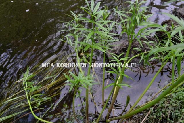 0679_myrkkykeiso_veden_aarella_miia_korhonen_luontoturva.fi