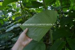 0701_jattitataren_eli_sahalinintataren_lehti_miia_korhonen_luontoturva.fi