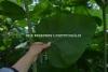 0702_jattitataren_eli_sahalinintataren_lehti_ja_varsi_miia_korhonen_luontoturva.fi