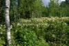 0705_viitapihlaja-angervo_on_haitallinen_vieraskasvi_levitessaan_luontoon_miia_korhonen_luontoturva.fi