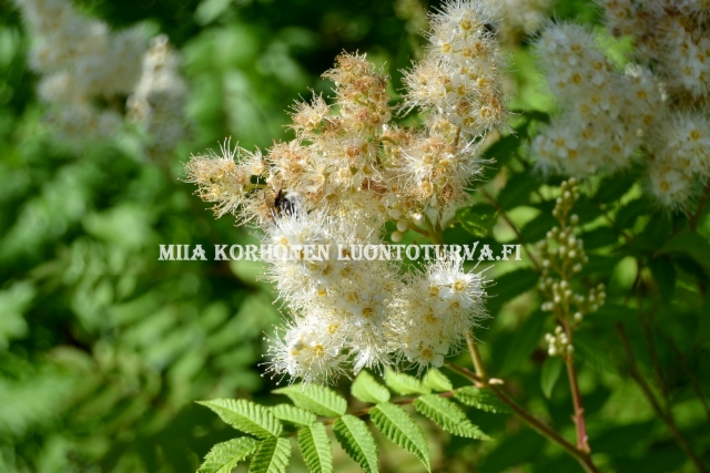 0706_viitapihlaja-angervon_kukinnoissa_hyonteiset_viihtyvat_miia_korhonen_luontoturva.fi