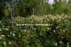 0707_metsanhoidossa_ongelmallinen_kasvi_on_viitapihlaja-angervo_miia_korhonen_luontoturva.fi
