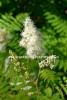 0709_viitapihlaja-angervo_on_yleinen_puutarhanpensas_mutta_levitessaan_luontoon_haitallinen_miia_korhonen_luontoturva.fi