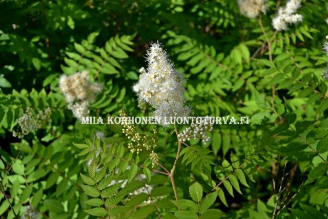 0710_viitapihlaja-angervon_lehti_ja_kukintaa_miia_korhonen_luontoturva.fi