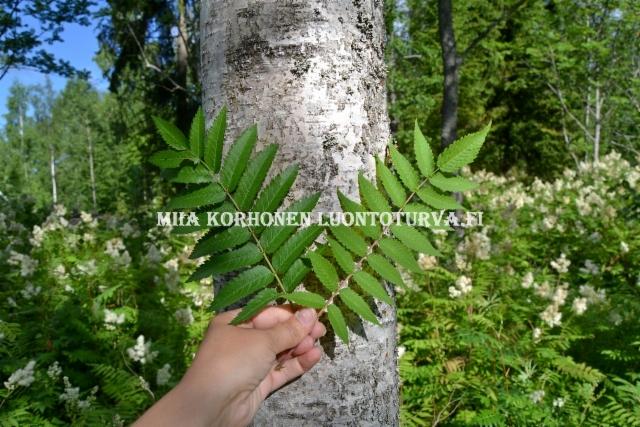 0712_pihlajan_lehti_vasemmalla_viitapihlaja-angervon_lehti_oikealla_miia_korhonen_luontoturva.fi