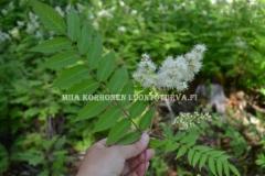 0714_viitapihlaja-angervo_lehti_ja_kukinto_miia_korhonen_luontoturva.fi