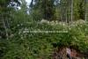 0704_viitapihlaja-angervo_estaa_levitessaan_metsan_uudistumista_miia_korhonen_luontoturva.fi