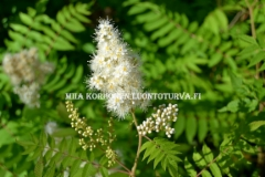 0708_viitapihlaja-angervo_miia_korhonen_luontoturva.fi
