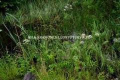 0720_myrkkykeiso_viihtyy_kosteilla_alueilla_miia_korhonen_luontoturva.fi