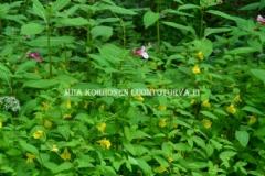 0728_jattipalsami_valtaa_lehtopalsamilta_tilaa_kuvassa_myos_karhunkoynnos_miia_korhonen_luontoturva.fi