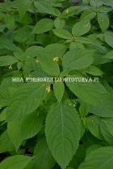 0730_rikkapalsami_miia_korhonen_luontoturva.fi
