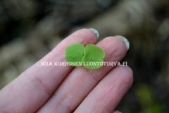 0734_lehtopalsamin_siementaimi_miia_korhonen_luontoturva.fi