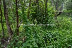 0738_karhunkoynnosta_sanotaan_joskus_elamanlangaksi_sen_kietoutuessa_muiden_kasvien_ymparille_miia_korhonen_luontoturva.fi