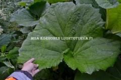 0745_etelanruttojuuren_lehti_miia_korhonen_luontoturva.fi