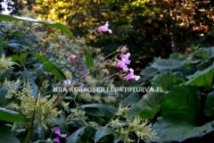 0747__jattipalsami_tatar_etelanruttojuuri_levinneena_luontoon_miia_korhonen_luontoturva.fi
