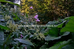 0748_ala_paasta_puutarhankasveja_leviamaan_luontoon_miia_korhonen_luontoturva.fi