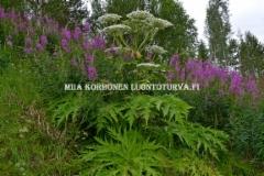 0758_tunnista_jattiputki_isoista_lehdista_kukinnosta_ja_kasvaisesta_varresta_miia_korhonen_luontoturva.fi