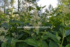 0765_laavaroyhytataren_kukinta_miia_korhonen_luontoturva.fi