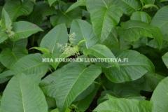 0769_laavaroyhytatar_on_haitallinen_levitessaan_luontoon_miia_korhonen_luontoturva.fi
