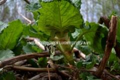 0772_laavaroyhytatar_lahtee_kasvuun_aikaisin_kevaalla_miia_korhonen_luontoturva.fi_