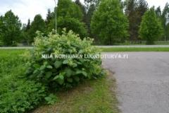 0774_torju_luontoon_levinneet_tataret_miia_korhonen_luontoturva.fi