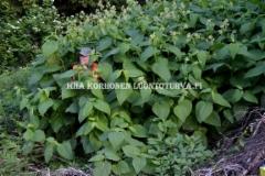0775_puutarhajatteesta_luontoon_levinnyt_tatar_miia_korhonen_luontoturva.fi