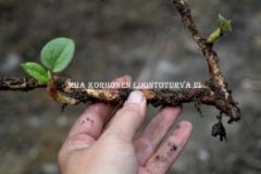 0777_tatar_lahtee_kasvuun_katkenneista_juuren_paloista_miia_korhonen_luontoturva.fi