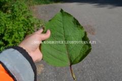 0779_japanintataren_lehti_miia_korhonen_luontoturva.fi