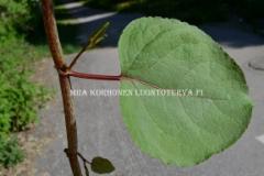 0781_japanintatar_varsi_ja_lehti_miia_korhonen_luontoturva.fi