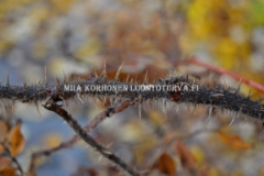 0784_kurtturuusun_oksat_on_tihea_piikkisia_miia_korhonen_luontoturva.fi