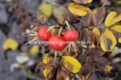 0785_kurtturuusun_kiulukat_miia_korhonen_luontoturva.fi