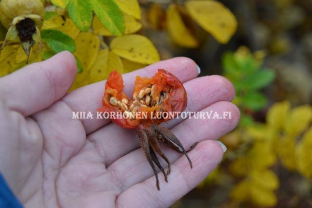 0786_kurtturuusu_leviaa_siemenista_miia_korhonen_luontoturva.fi