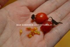 0792_punalehtiruusun_siemenet_ja_kiulukka_miia_korhonen_luontoturva.fi