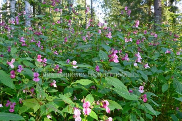 0022_jattipalsami_leviaa_myos_metsaisilla_alueilla_miia_korhonen_luontoturva.fi