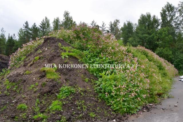 0798_maansiirtojen_mukana_leviavat_monet_haitalliset_vieraslajit_miia_korhonen_luontoturva.fi
