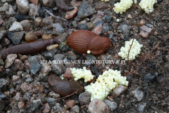 0800_espanjansiruetanan_munat_miia_korhonen_luontoturva.fi
