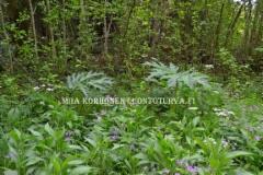 0803_haitallisten_vieraskasvien_tunnistaminen_ja_torjunta_on_tarkeaa_miia_korhonen_luontoturva.fi