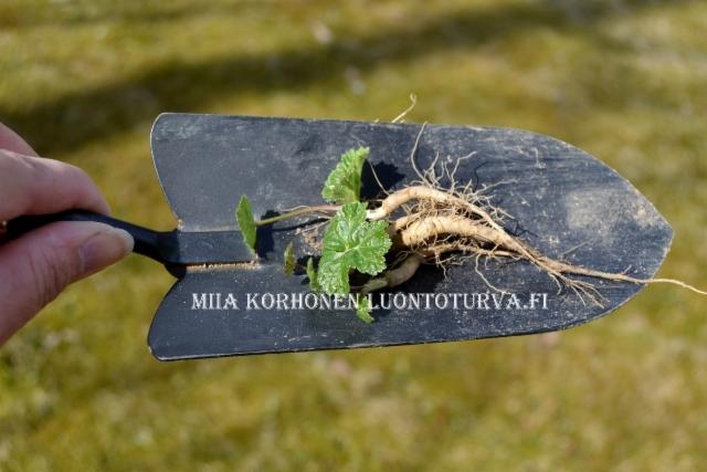 0804_tunnista_jattiputki_sen_kaikissa_kasvunvaiheissa_miia_korhonen_luontoturva.fi