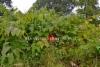 0807_puutarhajatteen_mukana_luontoon_leviaa_monet_lajit_kuvassa_sahalinintatar_miia_korhonen_luontoturva.fi