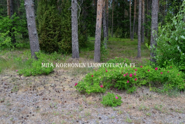0808_kurtturuusu_voi_levita_uusille_alueille_lintujen_mukana_miia_korhonen_luontoturva.fi