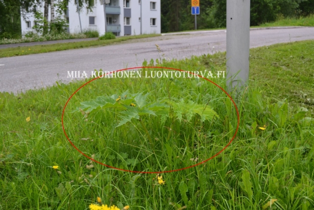 0809_haitalliset_vieraskasvit_taytyy_tunnistaa_ja_torjua_ennen_kuin_ne_leviavat_miia_korhonen_luontoturva.fi