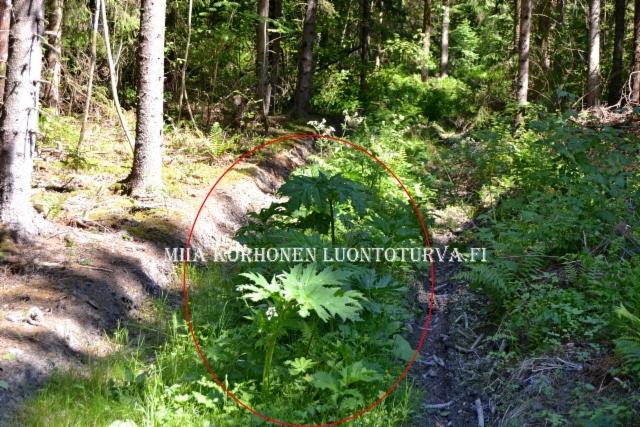 0811_tyokoneiden_mukana_voi_levita_monet_haitalliset_vieraskasvit_miia_korhonen_luontoturva.fi