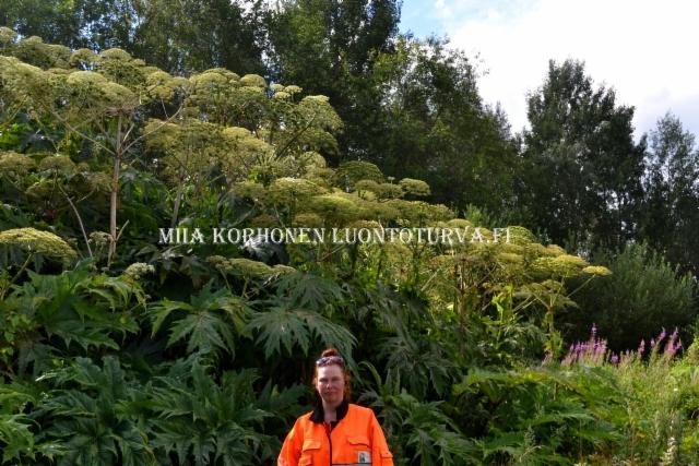 0813_jattiputki_voi_levita_maansiirtojen_mukana_miia_korhonen_luontoturva.fi