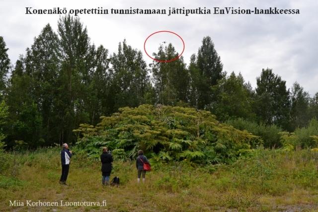 konenako_opetetaan_tunnistamaan_jattiputket_envision_hanke_miia_korhonen_luontoturva.fi